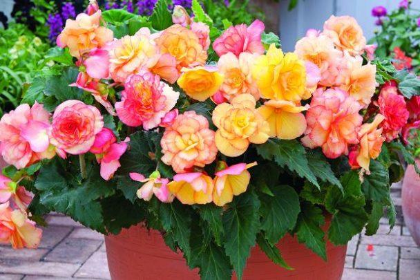Hạt giống hoa Thu Hải Đường rủ