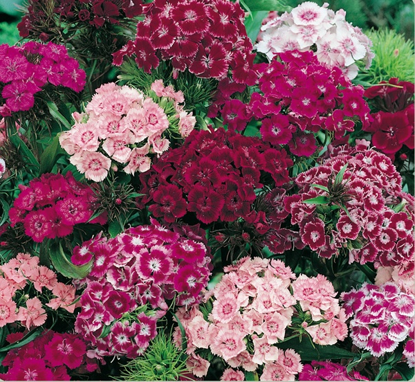 Hạt giống hoa cẩm chướng chùm F1, hướng dẫn trồng, cách chăm sóc