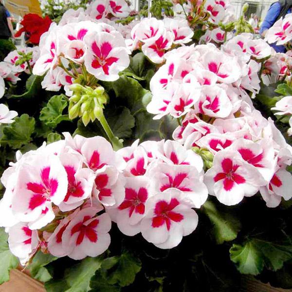 Hạt giống hoa phong lữ thảo, mua ở đâu hoa đẹp nhất