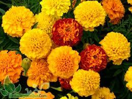Hạt giống hoa vạn thọ kim cương chất lượng nhất