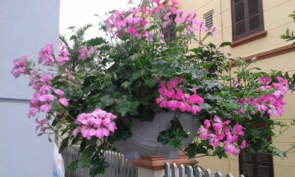 Hạt giống hoa phong lữ thảo rủ tỉ lệ nảy mầm cao