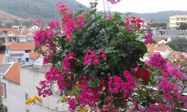 Hoa phong lữ thảo rủ trang trí không gian sinh hoạt