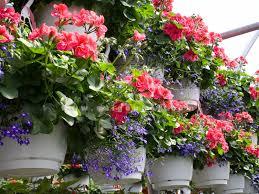 Trồng hoa phong lữ thảo rủ
