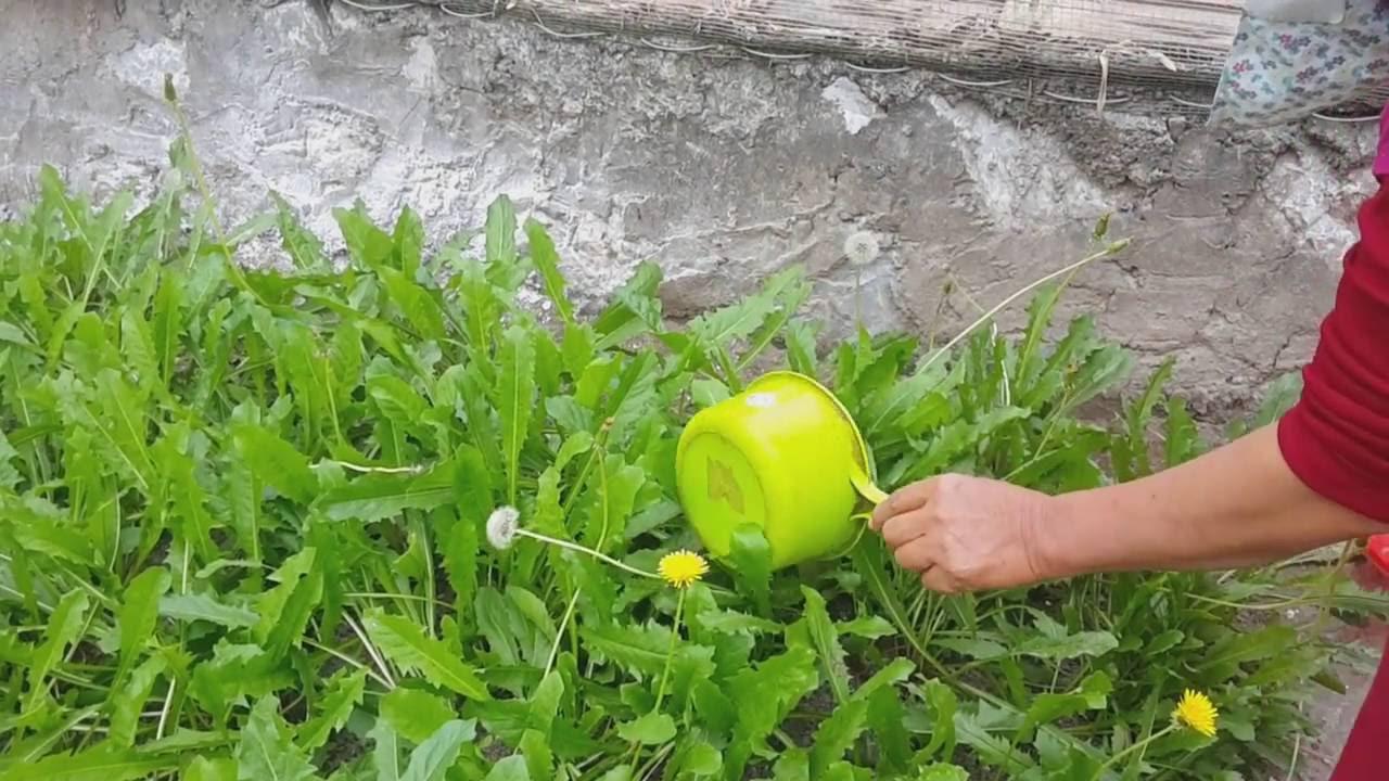 Hạt giống hoa bồ công anh chất lượng, dễ trồng