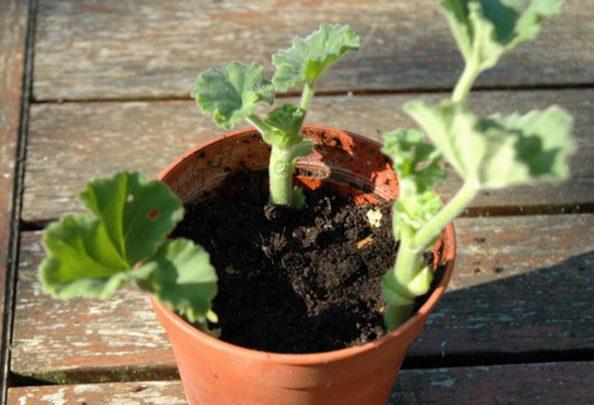 Hạt giống hoa phong lữ thảo rủ dễ trồng, phù hợp với điều kiện thời tiết Việt Nam