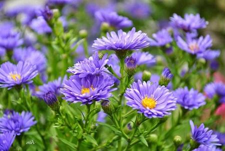 Các giống hoa mọc tốt, rực rỡ và um tùm