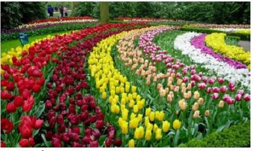 cách chăm hoa tulip