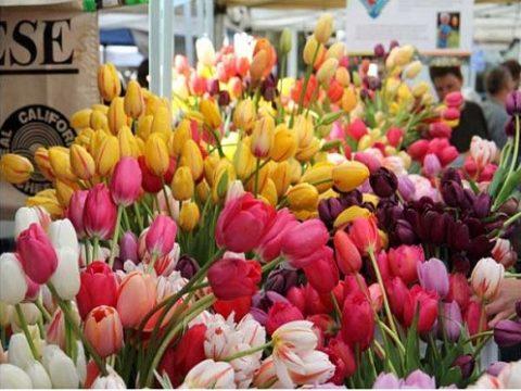 Tìm hiểu cách chăm hoa tulip nở đẹp vào dịp Tết.