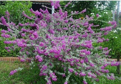 Kiến thức về Cây Tuyết Sơn Phi Hổ- cây bonsai đẹp
