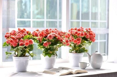 cách chăm sóc hoa thu hải đường