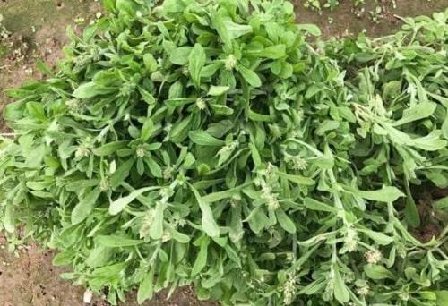 Rau khúc là loại rau gì? Tác dụng của rau khúc, món xôi khúc từ rau khúc.