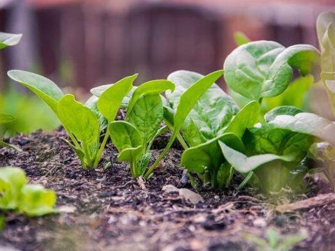 Top 7 loại hạt giống rau ngắn ngày nhanh được thu hoạch