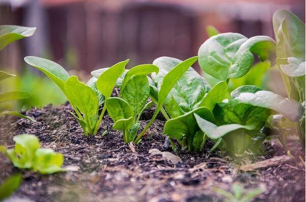 hạt gióng rau ngắn hạn
