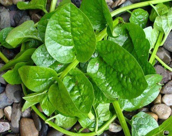 hạt giống rau ngắn ngày