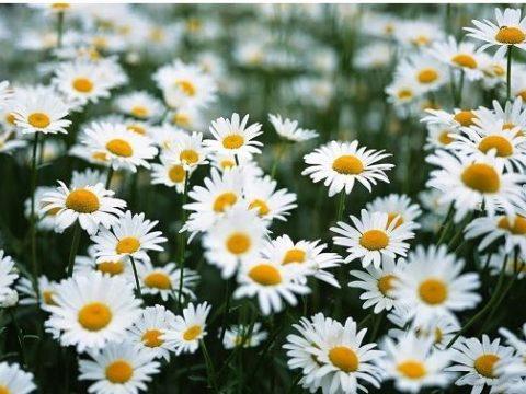 Tìm hiểu ý nghĩa của hoa xuyến chi