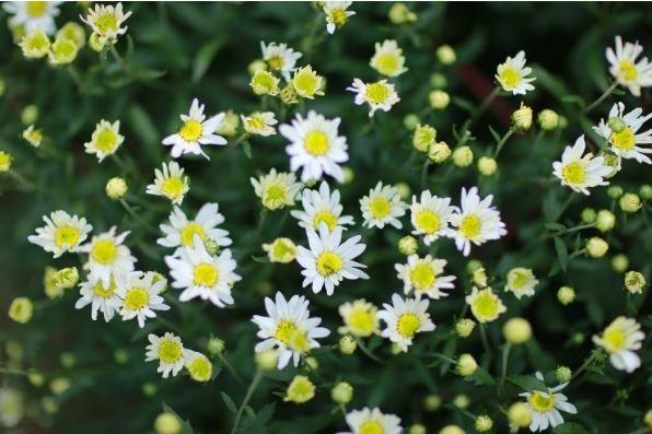 cách trồng hoa xuyến chi