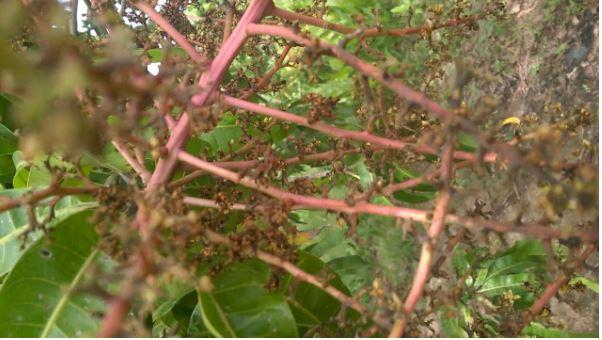 bệnh thán thư ở cây