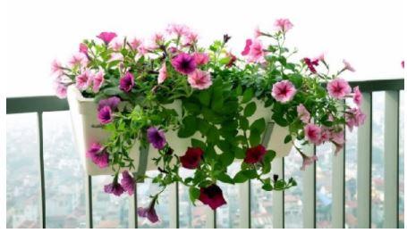 Trồng hoa dạ yến thảo như thế nào để ra nhiều hoa ?