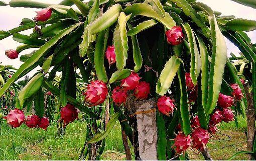Các loại cây ăn trái dễ trồng, chăm sóc ở nhà và vô cùng có lợi cho sức khỏe