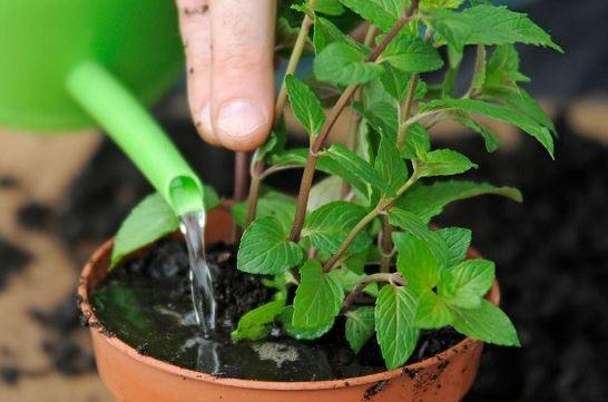 Những lưu ý khi tưới nước cho cây& mẹo tưới cây hoa sứ