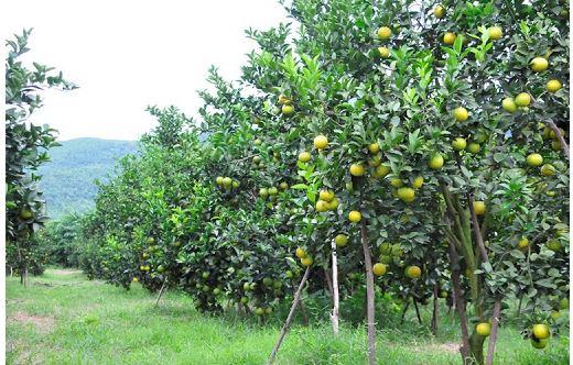 Tổng hợp nguyên nhân khiến cây ăn quả không ra trái