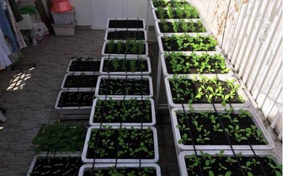 Rau trồng trong mát và những điều bạn chưa biết