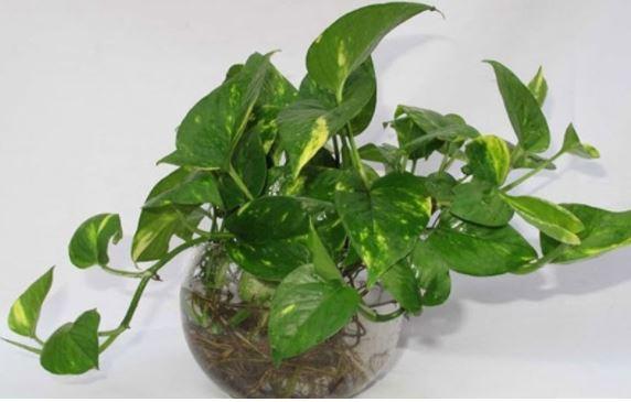 10+ loại cây không cần đất vẫn xanh tốt giúp lọc bụi hiệu quả trong nhà